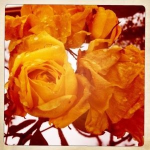 The Dollis Hill roses woke up shocked.